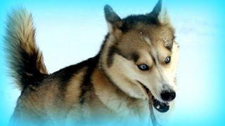 Harlem Shake V17 ( Husky Dog Edition ) Puppy Edition