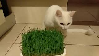 My Funny Cat Eating Green Wheat