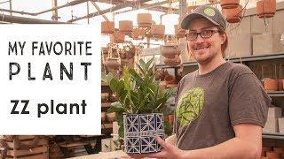 My favorite plant: ZZ plant
