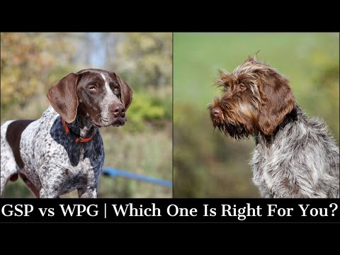 Wire Haired Pointing Griffon vs German Shorthaired Pointer | Which One Is Right For You?