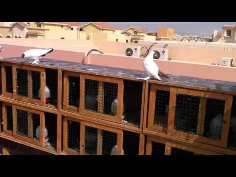 Helmet Crested Fancy Pigeons Free Fly - Doha,Qatar