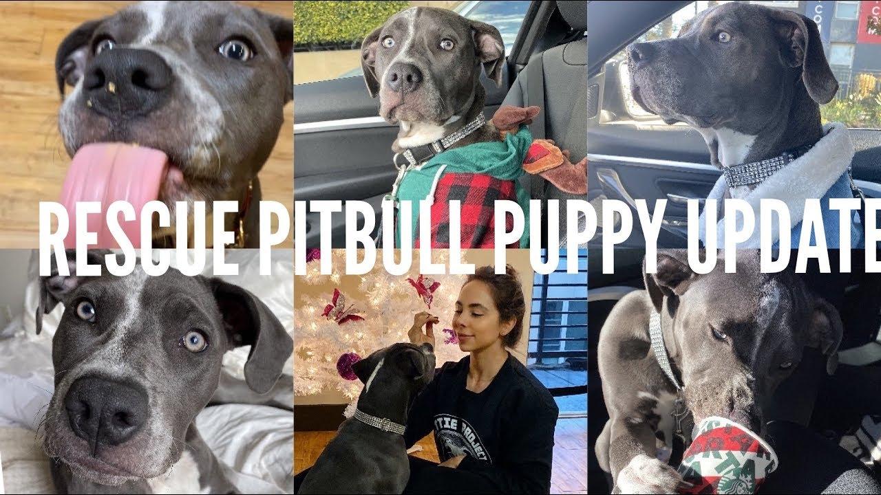 RESCUE PITBULL PUPPY UPDATE!