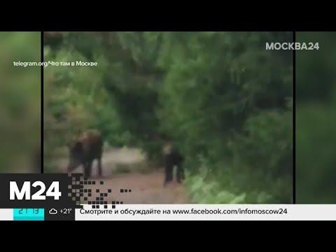 Семейство кабанов гуляет по поселку Шишкин Лес - Москва 24