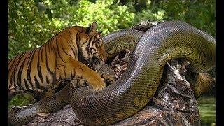 호랑이 vs 아나콘다 엄청난 데스매치!! tiger vs anaconda fight to death