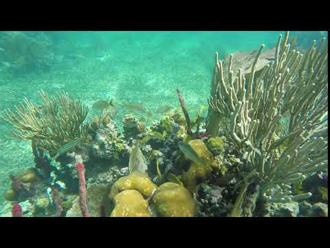 Trumpetfish hiding in amazing coral off Raguana Cay, Belize