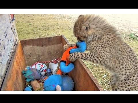 Baby African Cheetah Cub Cat Picks Out Toys From Toy Box & Plays - Bounces Like Disney Tigger