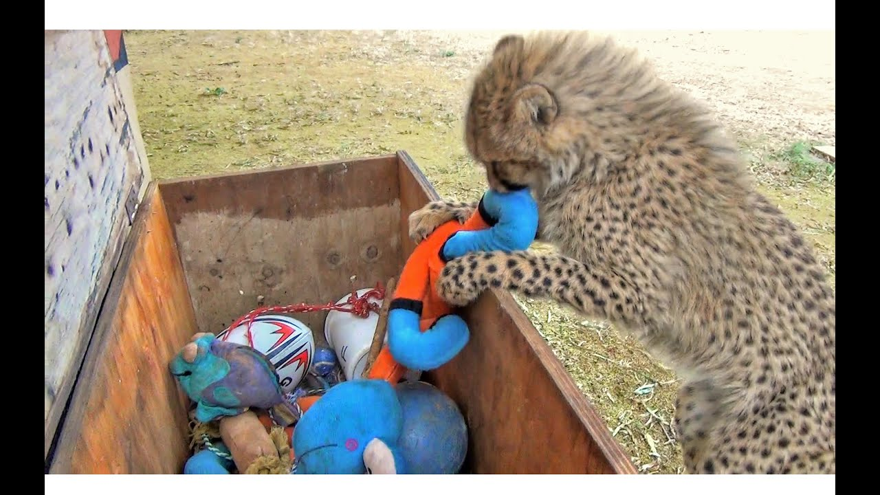 Toys From Africa : Baby african cheetah cub cat picks out toys from toy box & plays