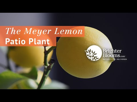 Improved Meyer Lemon Trees Are Great Gifts - Brighter Blooms Nursery