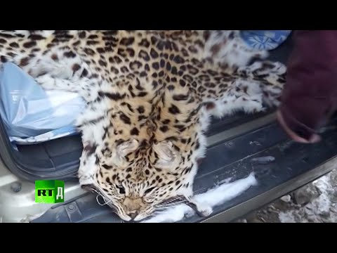 The Keepers Of Leopard Land (E2): The USSR's plan to eradicate Amur Leopards