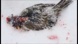 Tit Bird kill and eat sparrow | Murder Tit (bird)