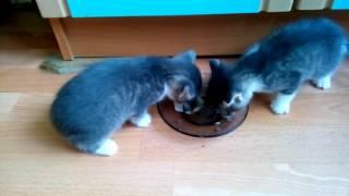 Котята первый раз едят