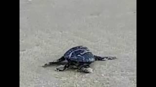 פתיחת עונת הבקיעה של צבי הים