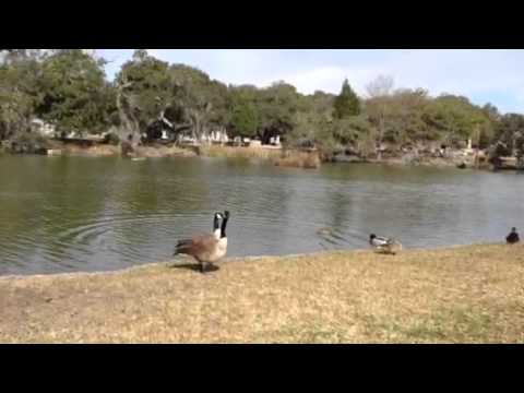 Geese Hissy Fit