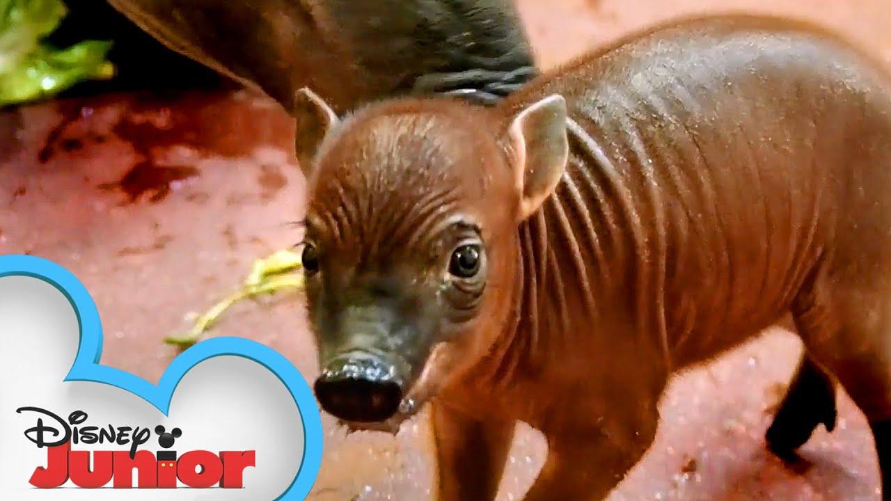 Baby Babirusas   Disney Animals Special Delivery with T.O.T.S.   Disney Junior
