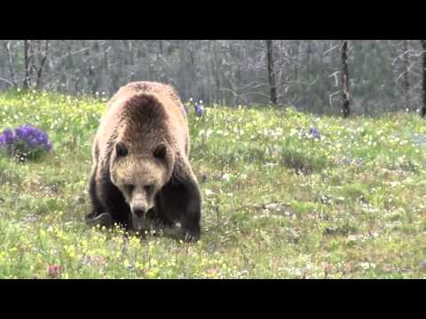 Grizzly Encounter at Yellowstone