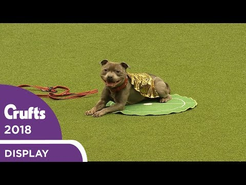 That's Magic! East Anglian Staffordshire Bull Terrier Display Team | Crufts 2018