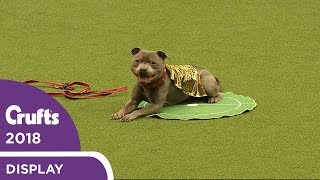 That's Magic! East Anglian Staffordshire Bull Terrier Display Team   Crufts 2018