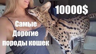 Топ самых нереально дорогих пород кошек