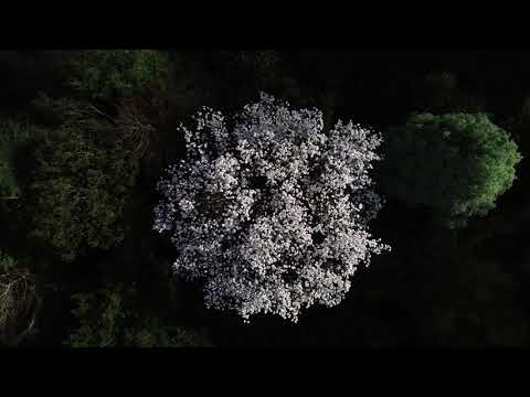 Magnolia Month drone footage