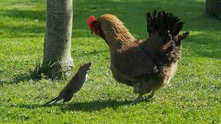 Домашняя КУРОЧКА и ее сожитель ПЕТУХ В ДЕЛЕ! Курица против кошек, собак, крысы и даже змеи!