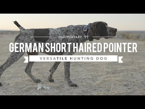 ALL ABOUT GERMAN SHORTHAIRED POINTERS VERSATILE HUNTER