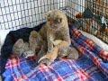 Preciosos cachorros de gato Selkirk Rex - Lovely Selkirk Rex cat puppies
