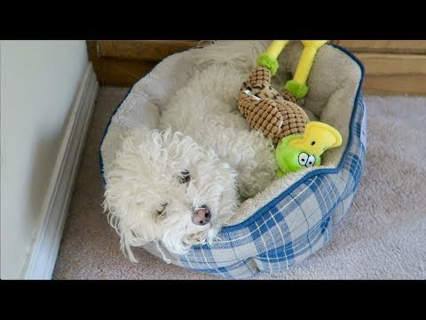 Bichons: What to Expect When Owning One