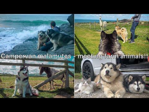 Malamutes meet farmyard animals - Reaction video
