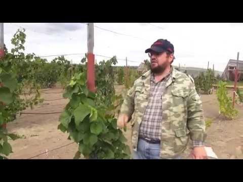 Северный виноград (сорта винограда)
