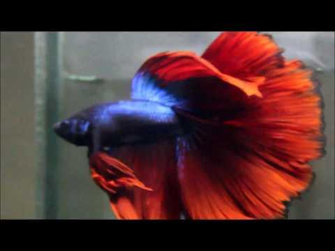 Red Halfmoon Betta Fish