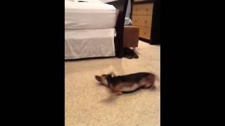 Min Pin / Chihuahua, Performing Dog Tricks