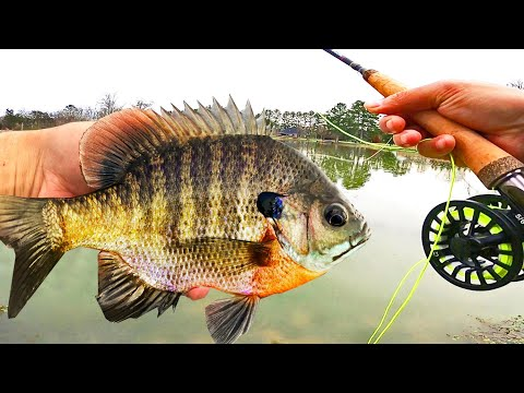 Fly Fishing For BIG BLUEGILL! (Panfish On The Fly Rod)
