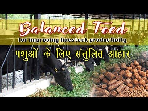 Balanced feed : Improving livestock productivity     पशुओं के लिए संतुलित आहार     Dairy Management