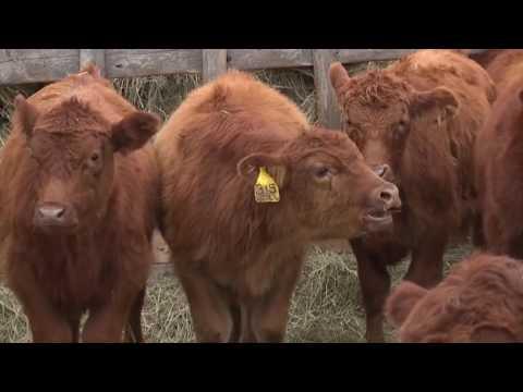 Montana Calves Sale in Nebraska