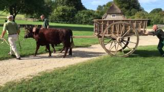 Training our Sussex oxen to pull a cart