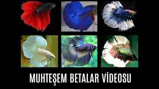Muhteşem Halfmoon Betalar, Crowntailler. Tayland'ın Betaları