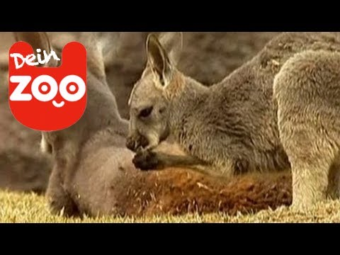 Youtube Känguru