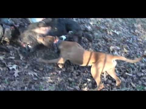 Louisiana Hog Dawgs