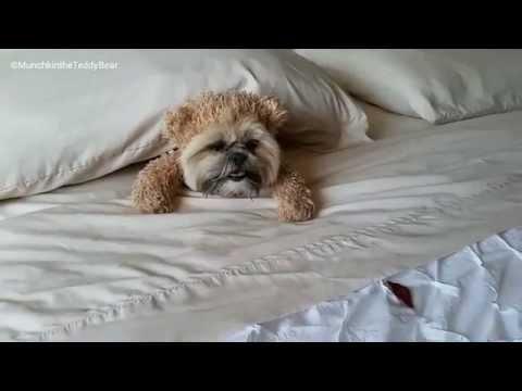 Munchkin the Teddy Bear's Beggin dream