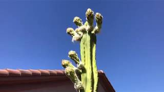 A Nice Surprise - My San Pedro Cactus is About to Blossom