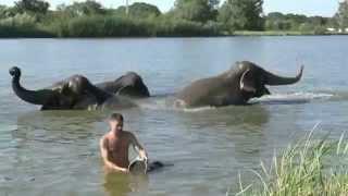 Купание слонов в жару на пруду