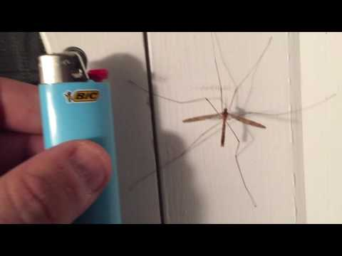 What does a crane fly look like?