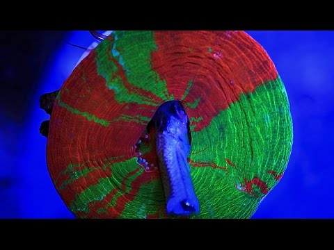 BLEEDING APPLE SCOLY FEEDING  -The Aquarium King-