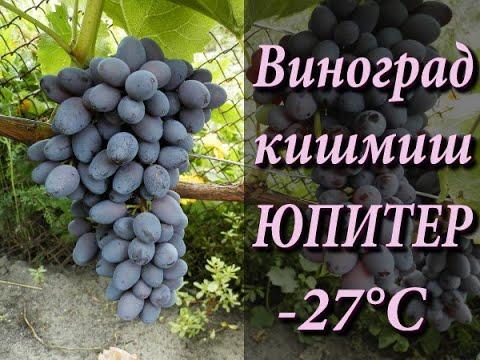 Виноград кишмиш Юпитер на 11 августа 2019 г.