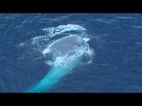 Blue Whale Study