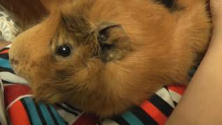 как разговаривают морские свинки видео