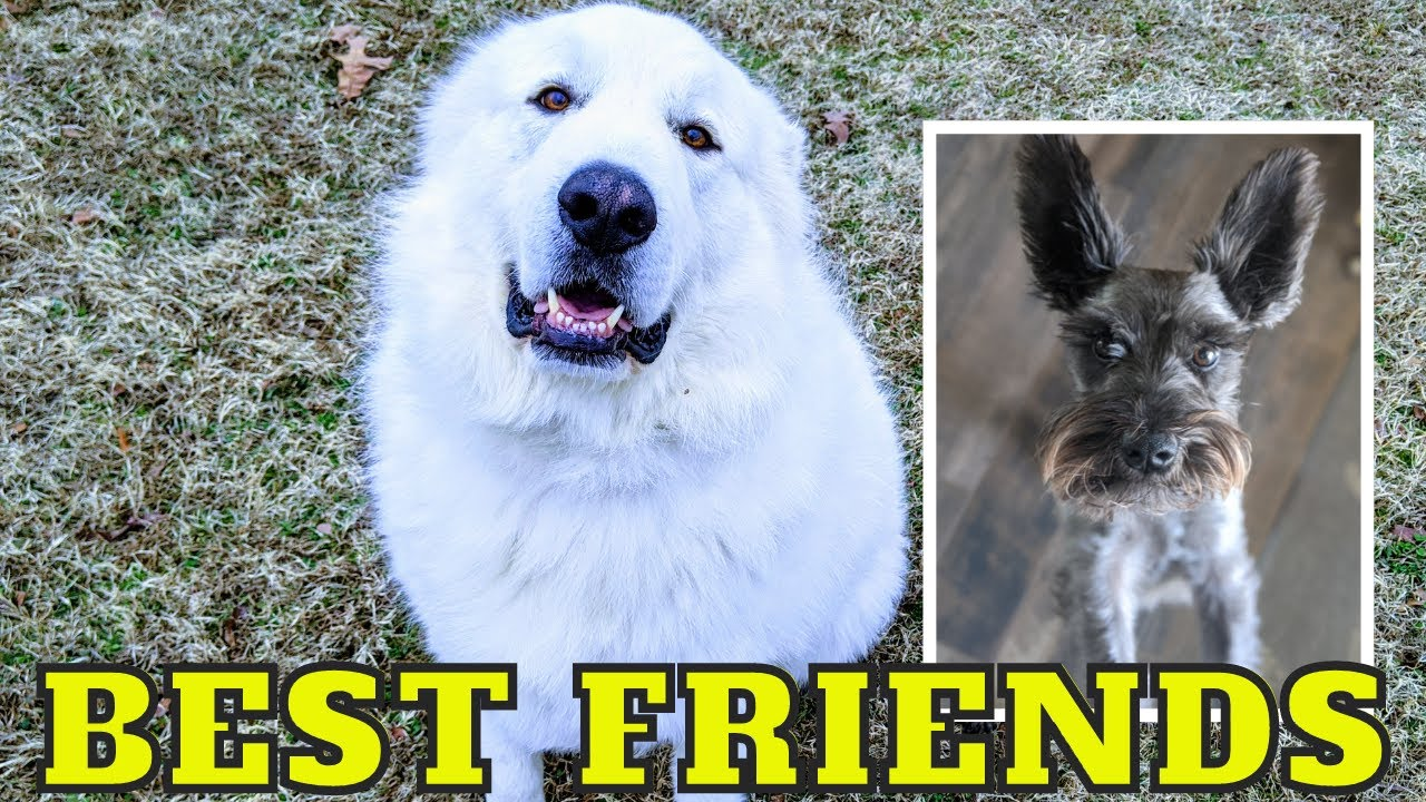 Giant Great Pyrenees and Mini Schnauzer Are Best Friends On The Farm #shorts