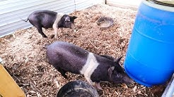 This DIY Pig Waterer is Game Changing (if it doesn't leak ;)