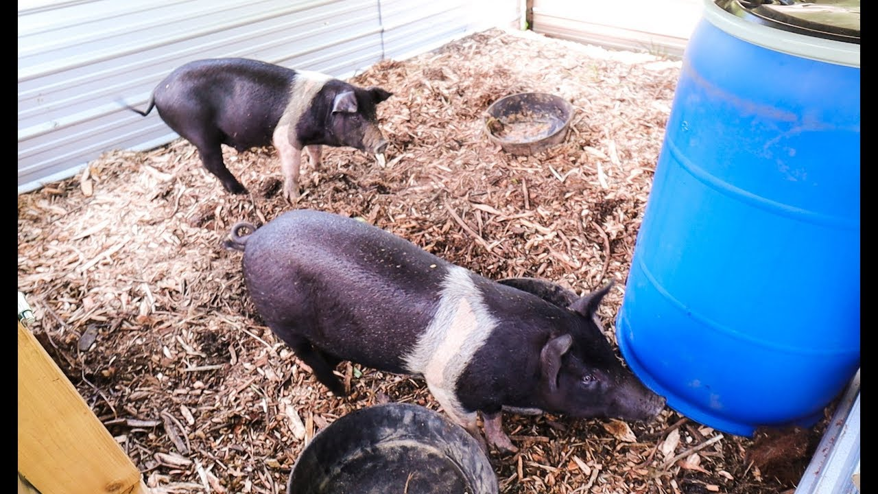 This DIY Pig Waterer is Game Changing