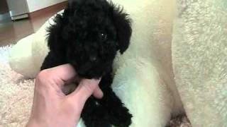 Buddy Black Teacup Poodle For Sale At Puppy Elite Teacups